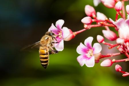 distributing: Macro of honey bee on pink Carambola flower