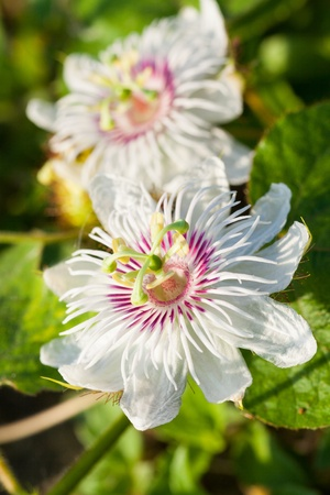 White Purple Passion Flower, Herb for health photo