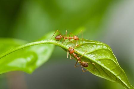 hormiga hoja: Dos hormigas rojas caminando sobre una hoja verde Foto de archivo