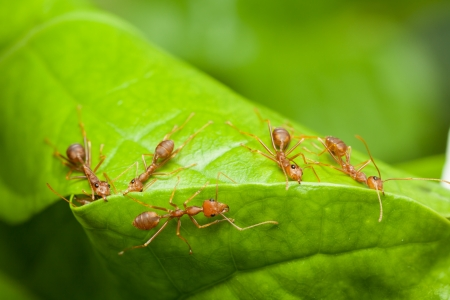 Red ants help together to build home or nest, teamwork concept photo