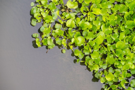 water hyacinth: Water Hyacinth (Eichhornia crassipes) in pond