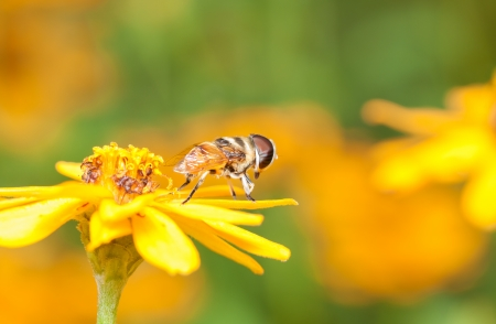 Cute Hoverfly resting on yellow flower photo