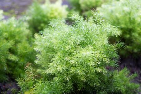 ulceras: Asparagus racemosus Willd Shatavari se recomienda para la prevenci�n y tratamiento de �lceras g�stricas, dispepsia y como galactogogo