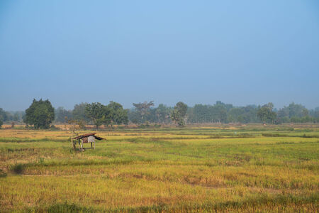 Rice field with hut in Thailand photo