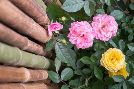 christopher: Pink and Yellow Christopher Marlowe Rose