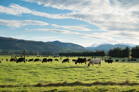 Cows in green meadow with mountain background in Springfield, West Coast, South Island, New Zealand
