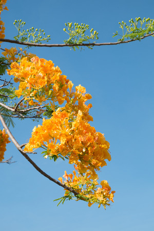 flamboyant: Royal Poinciana of Flamboyant bloem Stockfoto