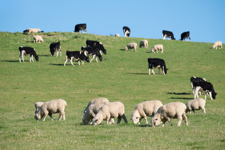 Sheeps in green rural meadow with cows, South Island, New Zealand