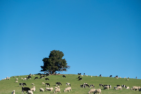 Cows and Sheeps in green rural meadow with blue sky, South Island, New Zealand