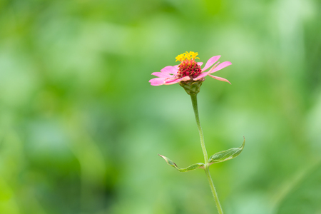 Pink Zinnia Flower (Single row of petals) in Spring with green blur background