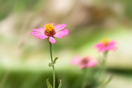 Pink Zinnia Flower (Single row of petals) in Spring with blur background