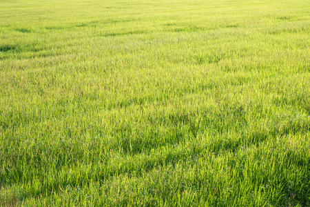Green Rice Field with Morning Light, Agriculture Background