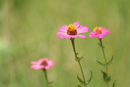 Pink Zinnia Flower (Single row of petals) in Spring Garden with green blur background