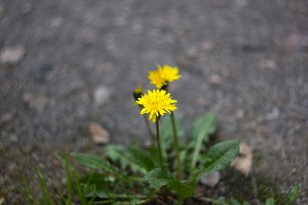 Dandelion over asphalt ground closeup