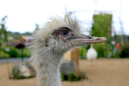 avestruz: avestruz curiosa Foto de archivo
