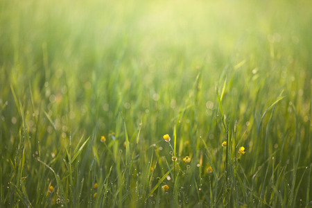 other keywords: Sunrise in a green grass, with spots of flare from dew. Stock Photo