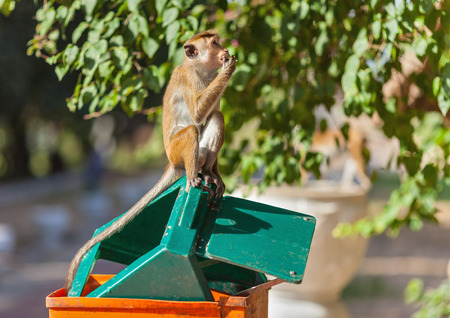 The monkey, with a philosophical look, sits in sunny day on a green cover of an orange trash can, eating up the remains of the found food.
