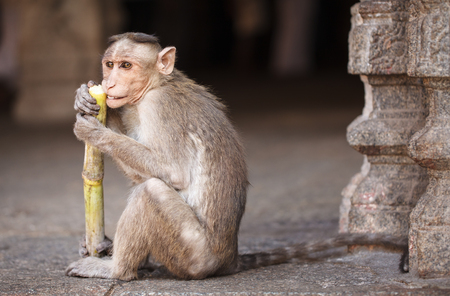 The small temple monkey regales on a stalk of a sugar cane in Virupaksha temple