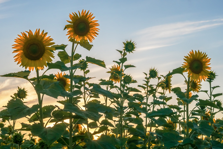 Young flowers of sunflowers against the background of the evening sky, close themselves the sunset sun. Stock Photo