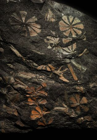 Flowers, stalks and leaves of ancient prehistoric plants have hardened in a piece of stone coal and have been got through many millions of years. Stock fotó