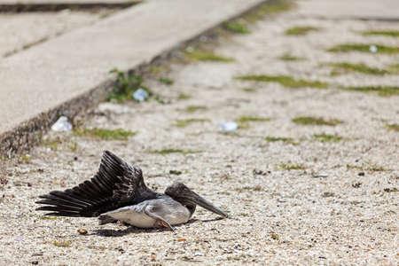 tratment: wounded pelican on Margarita Island, Venezuela - June 27, 2012 Stock Photo