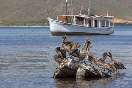 Group of the pelicans before the fishing boat on the Margarita island, Venezuela - June 27, 2012 Stock Photo - 17019708