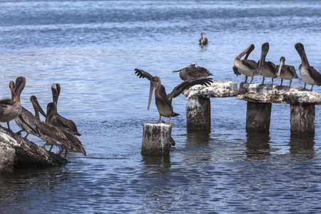 Group of the pelicans beside the beach on the Margarita island, Venezuela - June 27, 2012 Stock Photo - 17019710