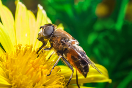 pollinator: Eristalis Pertinax known as hoverfly on a flower