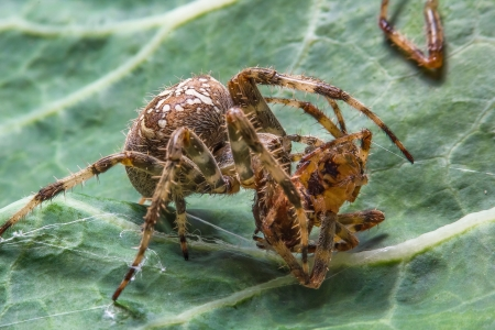 mating: Two spiders in mating behavior