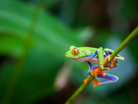 treefrog: Red eye frog on the forest