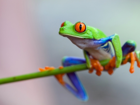 red eyed leaf frog: Red eye frog on the forest