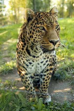Leopard staring away in the jungle Stock Photo