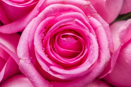 Roze roos met waterdruppels op close-up