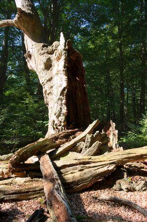 holed: Virgin forest-Sababurg IX Germany