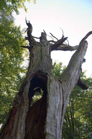 holed: Virgin forest-Sababurg VI Germany