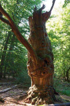 holed: Virgin forest-Sababurg VIII Germany