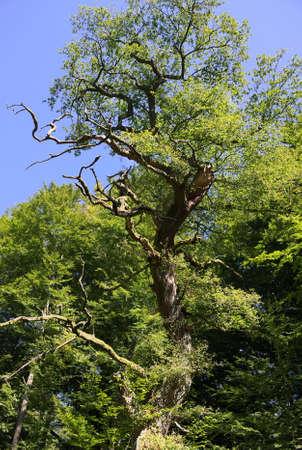 holed: Virgin forest-Sababurg-XIV-Germany