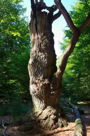 holed: Virgin forest-Sababurg-XV-Germany