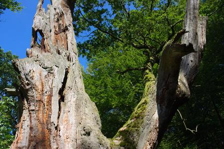 holed: Virgin forest-Sababurg XI Germany Stock Photo