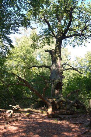 holed: Virgin forest-Sababurg VII Germany