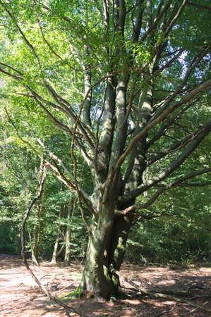 holed: Virgin forest-Sababurg-XII-Germany