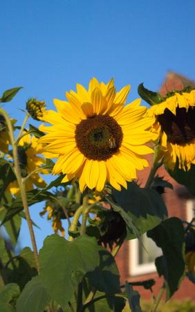 bautiful garden - sunflower - HH - Germany