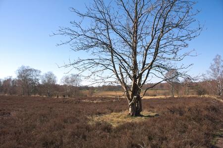 Wittmoor - lonely tree in the heath - II - 免版税图像