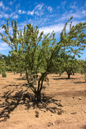Olive tree on a vineyard - Chile