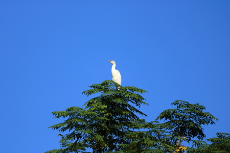 Closed up shore bird birds in an tree, Intermediate egret (Area intermedia) in nepal
