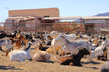 Goat flock in a farm in the naked mountains of gran canaria spain Stok Fotoğraf - 121960161