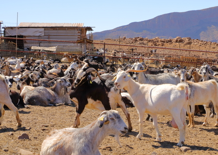 Goat flock in a farm in the naked mountains of gran canaria spain