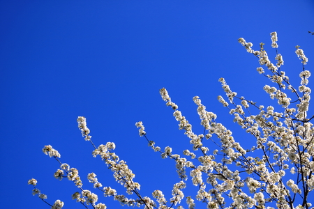 Cherry blossoms in spring under the blue sky