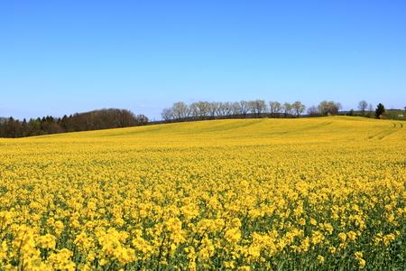 Bloeiend koolzaadveld Saksen in Duitsland