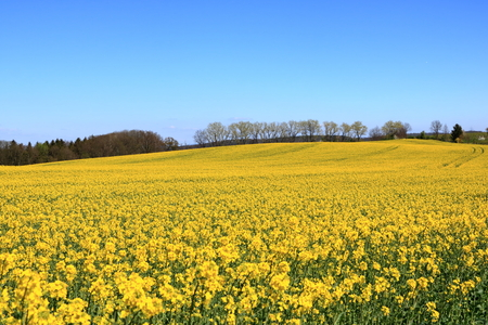 Florecimiento campo de colza Sajonia en Alemania